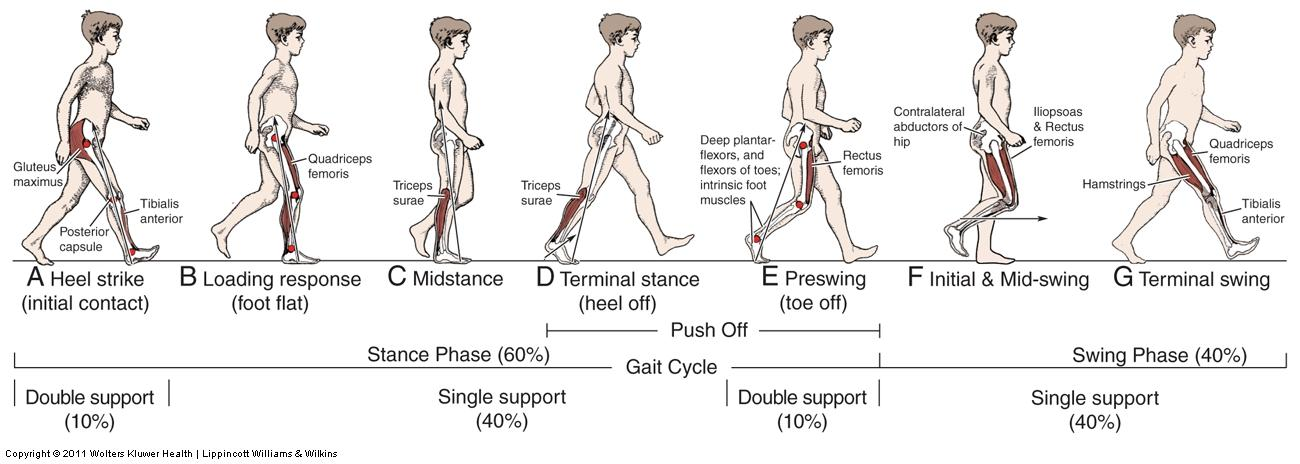 Gait Cycle_Horeczko_Tim